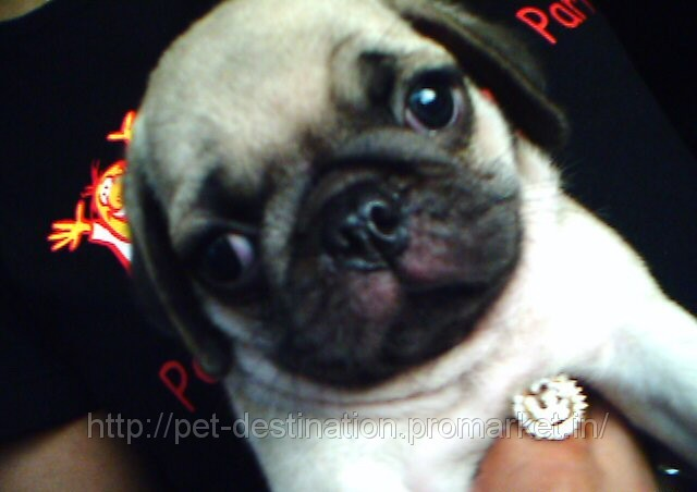 VODAFONE PUG PUPPY&#39;S ARE AVALABLE, price  25,000 /pc(s)., buy ...
