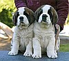5 SAINT BERNARD (TOP QUALITY) FOR SALE STUNNING LITTER