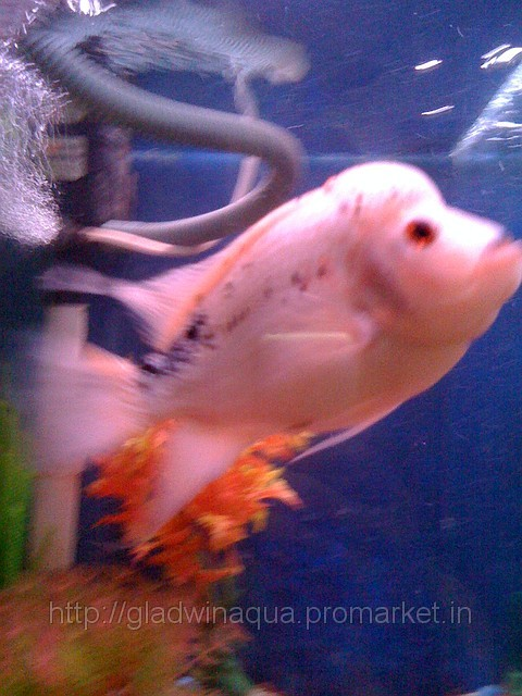 Pin exotic flowerhorn fish for sale price 900 pcs buy for Flower horn fish price